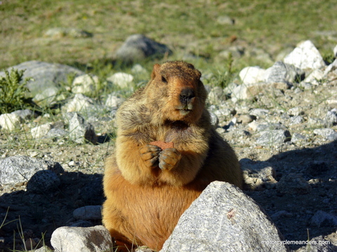 Barry the marmot at our campsite